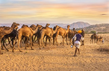 Poster Kameel A herd of dromedary camels being led through a desert landscape by camel traders near Pushkar in Rajasthan, India.