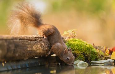 Foto op Canvas Eekhoorn Squirrel drinking water from the lake