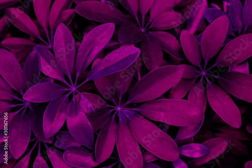 Wall mural abstract purple leaf texture, nature background, dark tone