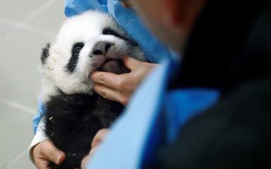 Chinese zoo keeper Yang Liu exanmines a panda cub at Pairi Daiza wildlife park in Brugelette