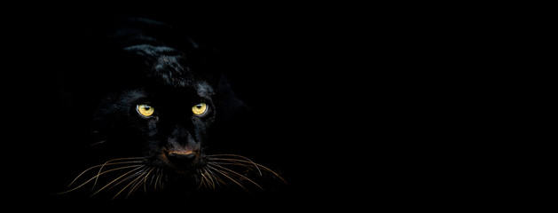 Photo sur Toile Panthère Black panther with a black background