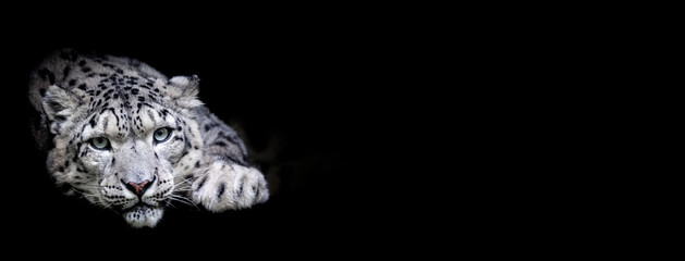 Foto op Plexiglas Luipaard Snow leopard with a black background