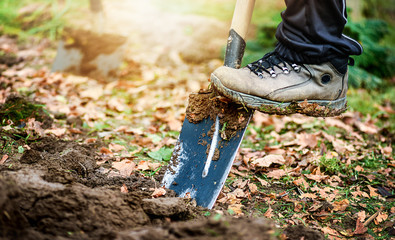 Fototapeta Worker digs soil with shovel in colorfull garden, workers loosen black dirt at farm, agriculture concept autumn detail. Man boot or shoe on spade prepare for digging...