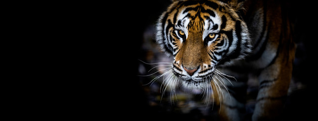 Poster de jardin Tigre Tiger with a black background