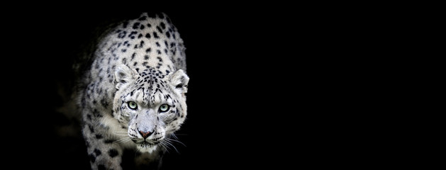 Poster Luipaard Snow leopard with a black background