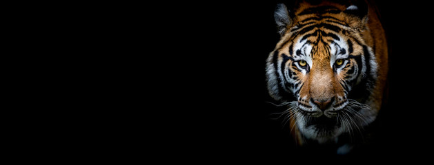 Foto op Plexiglas Tijger Tiger with a black background