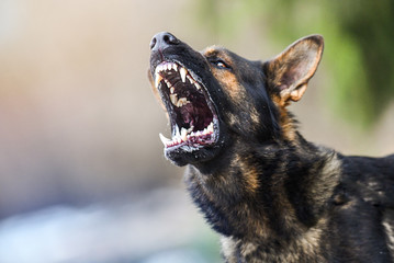 Poster Chien Aggressive dog shows dangerous teeth. German sheperd attack head detail.