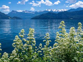 blick auf den vierwaldstättersee mit weißen blumen im vordergrund und alpen im hintergrund