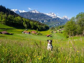 Hund rennt in schweizer Berglandschaft im Sommer