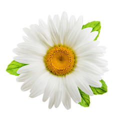 Papiers peints Marguerites Chamomile or camomile flowers with mint leaves isolated on white background