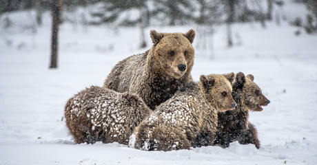 Bear family in the snowfall. She-Bear and bear cubs on the snow. Brown bears in the winter forest. Natural habitat. Scientific name: Ursus Arctos Arctos. Wall mural