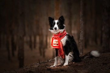 border collie dog beautiful portrait in the forest magic light incredible photo