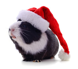 Guinea pig and Christmas hat.