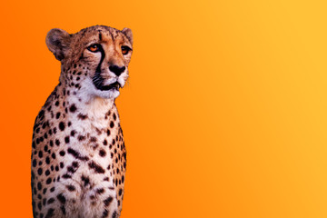 cheetah isolated on yellow warm background