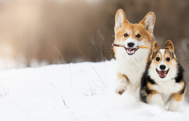 Spoed Fotobehang Hond welsh corgi dog running outdoors in the snow