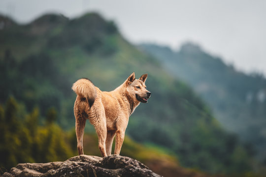 A lone stray dog found in the mountains around Sapa in Northern Vietnam, Asia.
