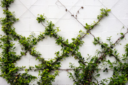 Green vines are trained to grow on a wire frame on a wall, and will create an elegant minimalist botanical diamond pattern when finished.