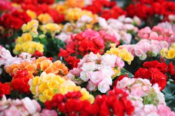 beautiful begonia flower plant background