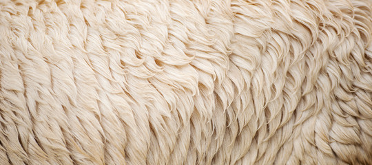 Detailed closeup of natural Australian sheep wool.