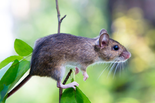The Ural field mouse (Apodemus uralensis) sitting on a branch