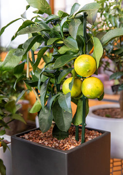 Decorative lemon tree in a pot at the greek garden shop in November.