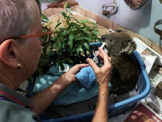 A burnt koala named Anwen, rescued from Lake Innes Nature Reserve, receives formula at the Port Macquarie Koala Hospital ICU in Port Macquarie