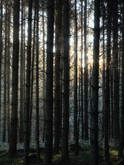 Trees in a bavarian forest with sun rays shining through in the early morning