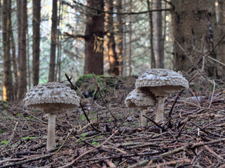 Mushrooms in a bavarian forest in the early morning light
