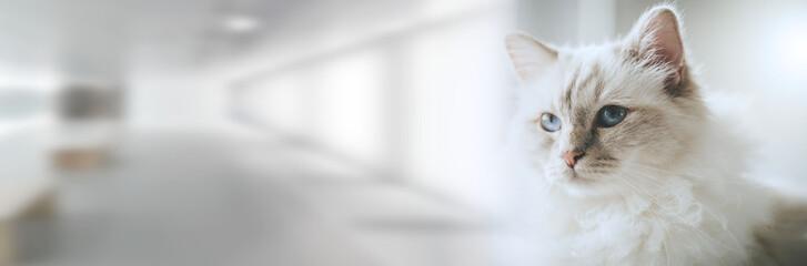 Fototapeta Portrait of beautiful sacred cat of burma; panoramic banner obraz