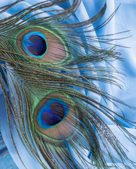 Close-up of a peacock's tail feathers isolated on in a blue fancy fabric background - Image
