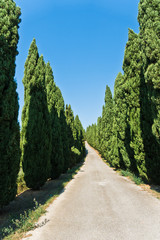 Long winding road surrounded on both sides with cypress trees, near Vinci, Tuscany, Italy