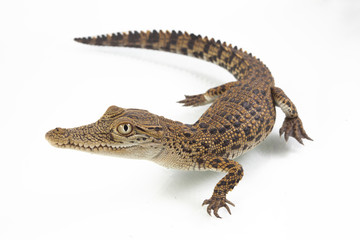 Foto op Canvas Krokodil A baby Saltwater crocodile (Crocodylus porosus) isolated on white background