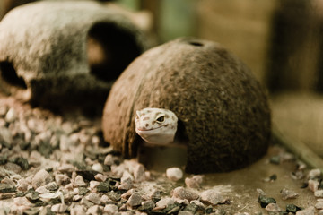 selective focus of reptile near coconut shell and stones Wall mural