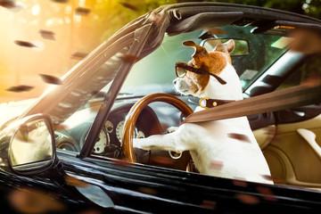 Garden Poster Crazy dog dog drivers license driving a car
