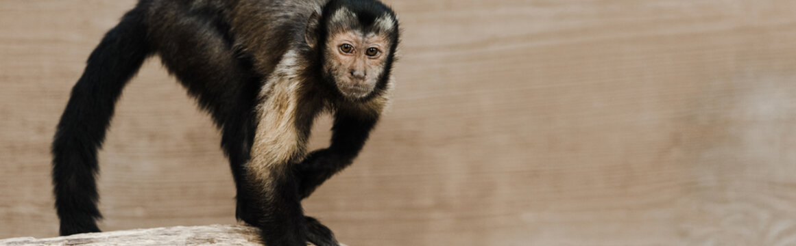 panoramic shot of cute monkey in zoo