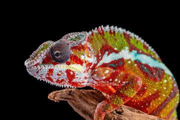 Foto op Aluminium Kameleon Panter Chameleon, furcifer pardalis, photographed on a plain background