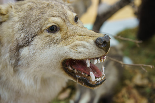Photography of taxidermy stuffed wolf's muzzle with bared mouth and teeth. Hunting trophies. Stuffed animals to order. Hunting theme.