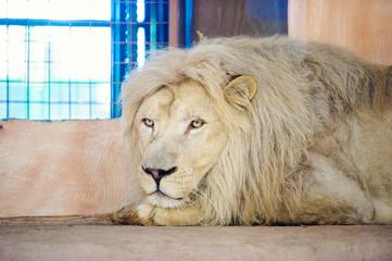 Wall Mural - white lion