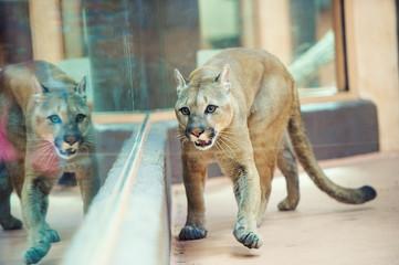 Wall Mural - cougar