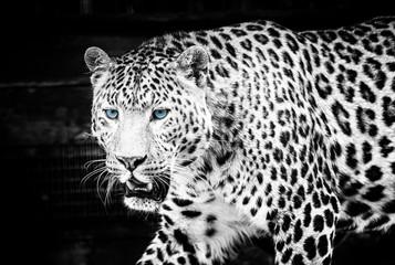 Wall Mural - Beautiful young leopard