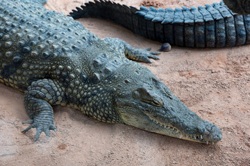 Beautiful still crocodile