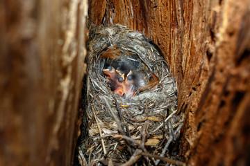 Certhia familiaris. The nest of the Tree Creeper in nature.