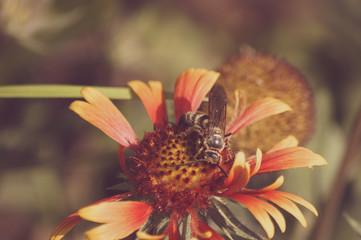 bee on Gaillardia aristata mesa peach in Mercer Arboretum and Botanical Gardens, Spring, Texas