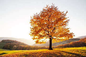 Printed roller blinds Autumn Majestic beech tree with sunny beams at autumn mountain valley. Dramatic colorful evening scene. Carpathian mountains, Ukraine. Landscape photography