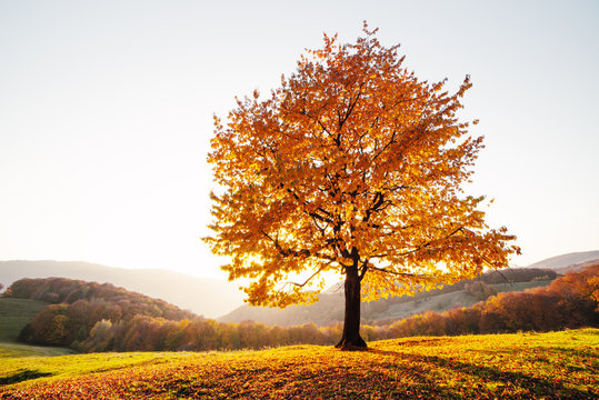 Majestic beech tree with sunny beams at autumn mountain valley. Dramatic colorful evening scene. Carpathian mountains, Ukraine. Landscape photography
