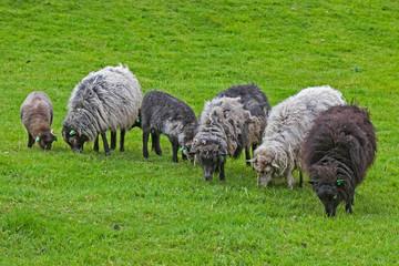 Schafe im Winterpelz