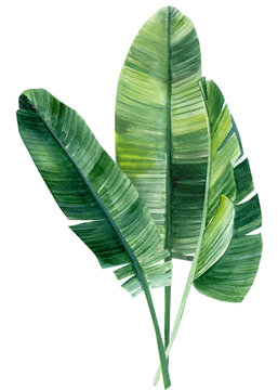 palm tree, leaves of tropical forests on an isolated white background, watercolor illustration