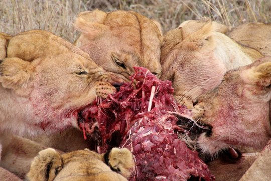 Group of lions eating their warthog prey