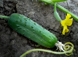 Green fresh cucumbers growing on a stalk. Growing vegetables. Flowering cucumber. Prickly little cucumber.