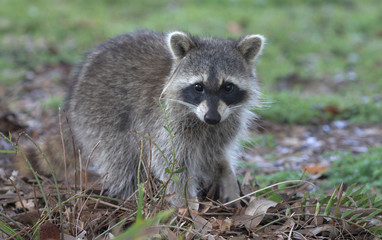 Fluffy young raccoon at Green Cay Wetlands in Florida